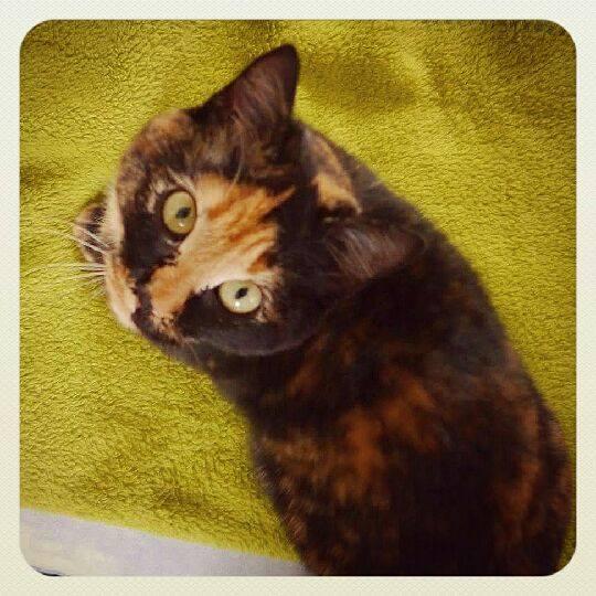 Lana, femelle type européenne écaille de tortue née 15/04/2015 - Page 5 12804012