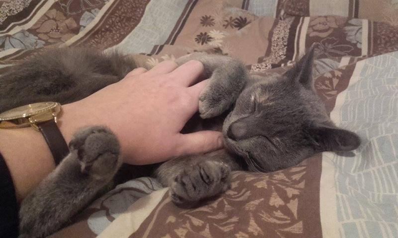 Isabelle, femelle type européen grise estimée née 12/02/2015 12804211