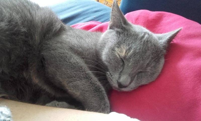 Isabelle, femelle type européen grise estimée née 12/02/2015 12804310
