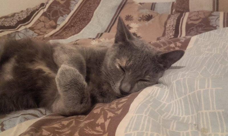 Isabelle, femelle type européen grise estimée née 12/02/2015 12804312