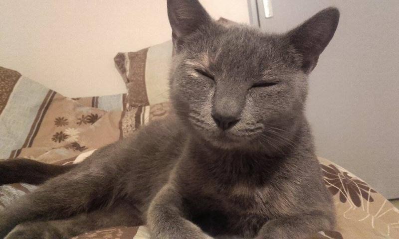 Isabelle, femelle type européen grise estimée née 12/02/2015 12804510
