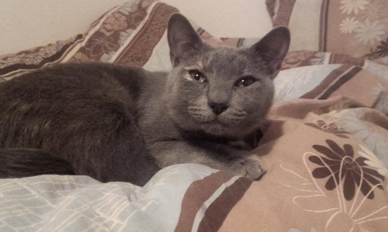 Isabelle, femelle type européen grise estimée née 12/02/2015 12825110