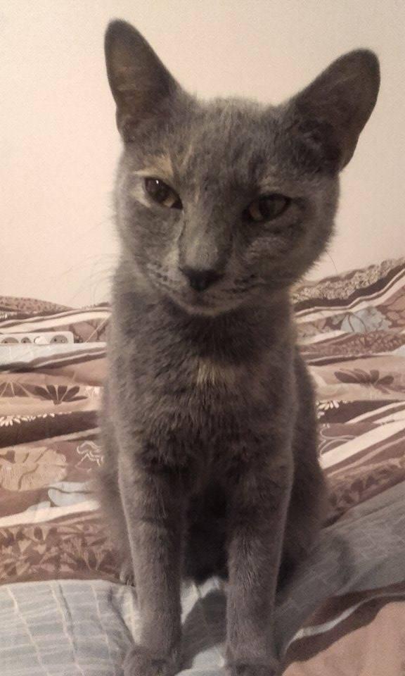Isabelle, femelle type européen grise estimée née 12/02/2015 12833210