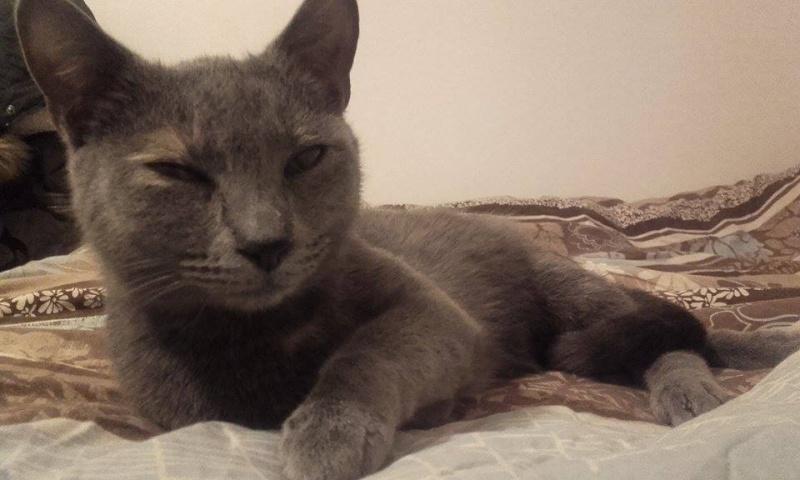 Isabelle, femelle type européen grise estimée née 12/02/2015 12835010