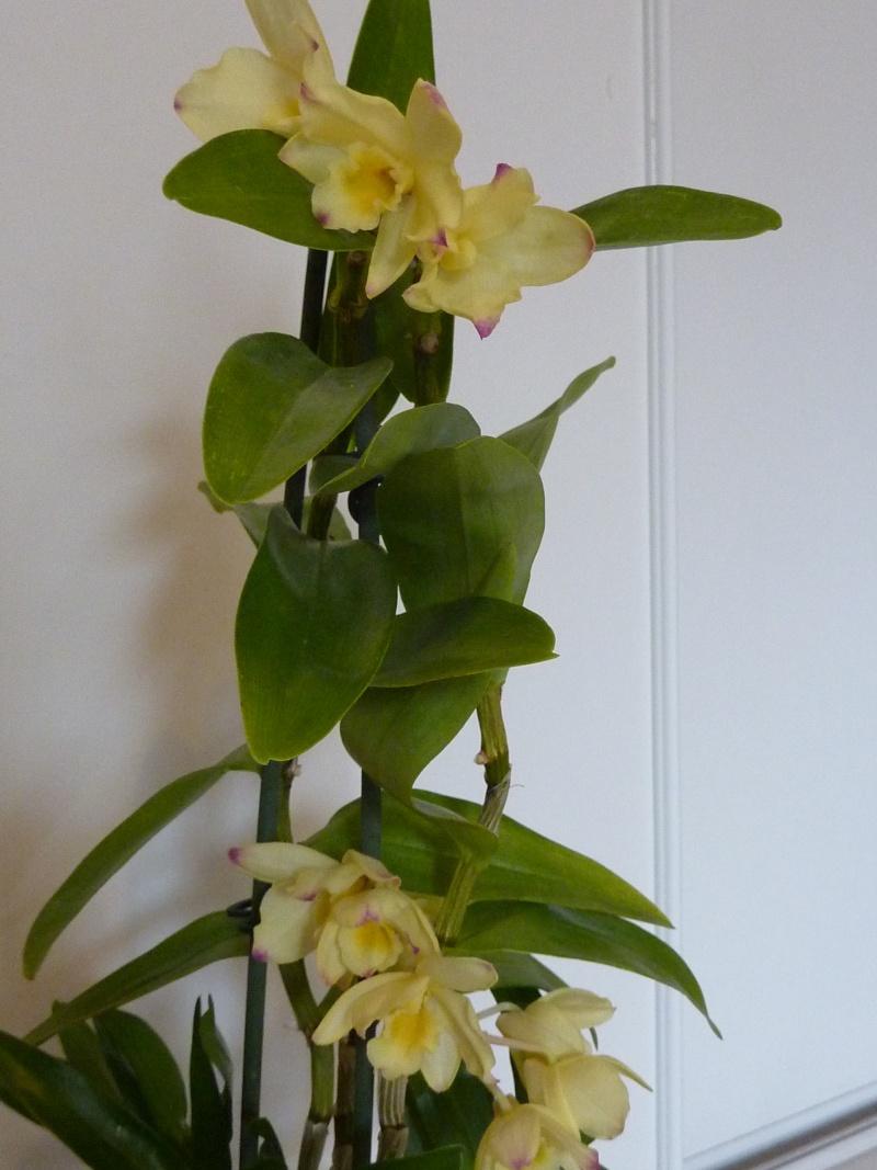 Dendrobium nobile hybride jaune 2016-025