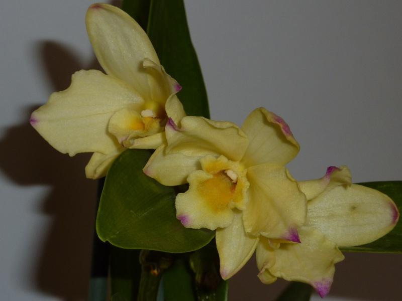Dendrobium nobile hybride jaune 2016-036