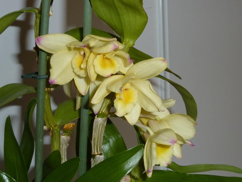 Dendrobium nobile hybride jaune 2016-037