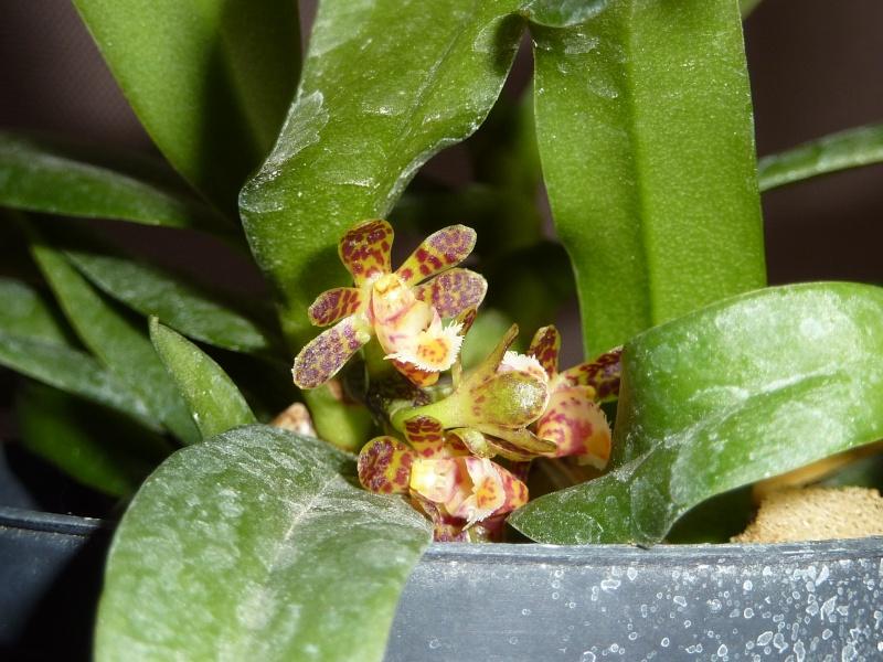 Gastrochilus calceolaris 2016-045