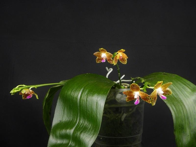Phalaenopsis venosa x javanica (Java Sunshine) Dscn1822