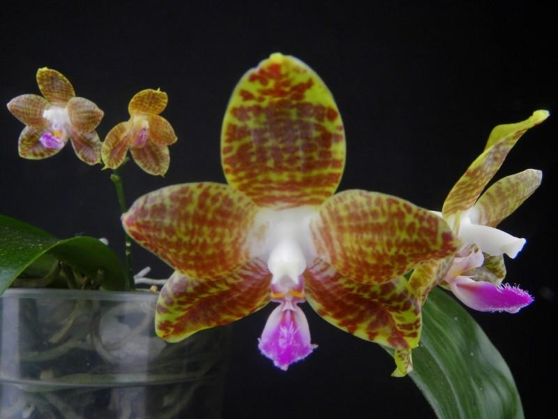 Phalaenopsis venosa x javanica (Java Sunshine) Dscn1910