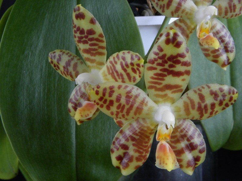 Phalaenopsis amboinensis x gigantea (David Lim) Nr_20811
