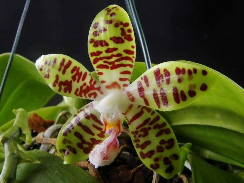 Phalaenopsis gigantea x sumatrana  (David Ai) Nr_21011