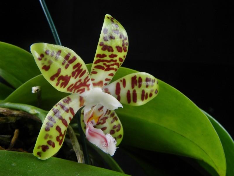 Phalaenopsis gigantea x sumatrana  (David Ai) Nr_21012
