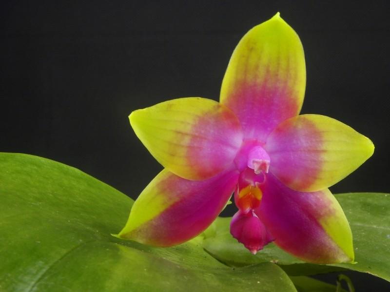 Phalaenopsis violacea x amboinensis (Princess Kaiulani)  Nr_33910