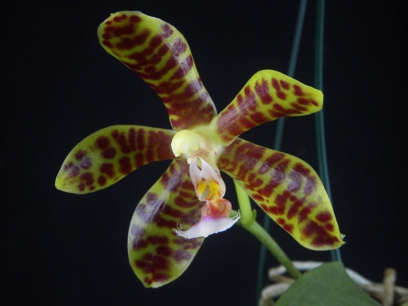 Phalaenopsis gigantea x mannii (Rosie Clouse) Nr_43711