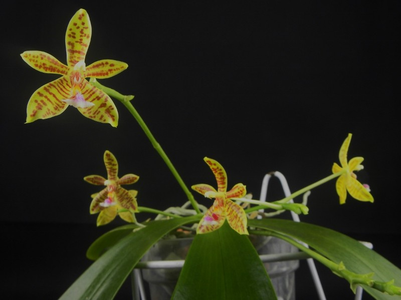 Phalaenopsis floresensis x mannii (Man Force) Nr_43_10