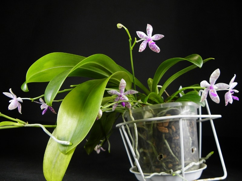 Phalaenopsis lueddemanniana x bastianii (Dreieich Star) Nr_47313