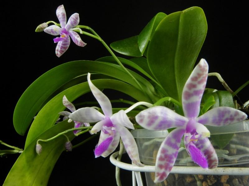 Phalaenopsis lueddemanniana x bastianii (Dreieich Star) Nr_47314