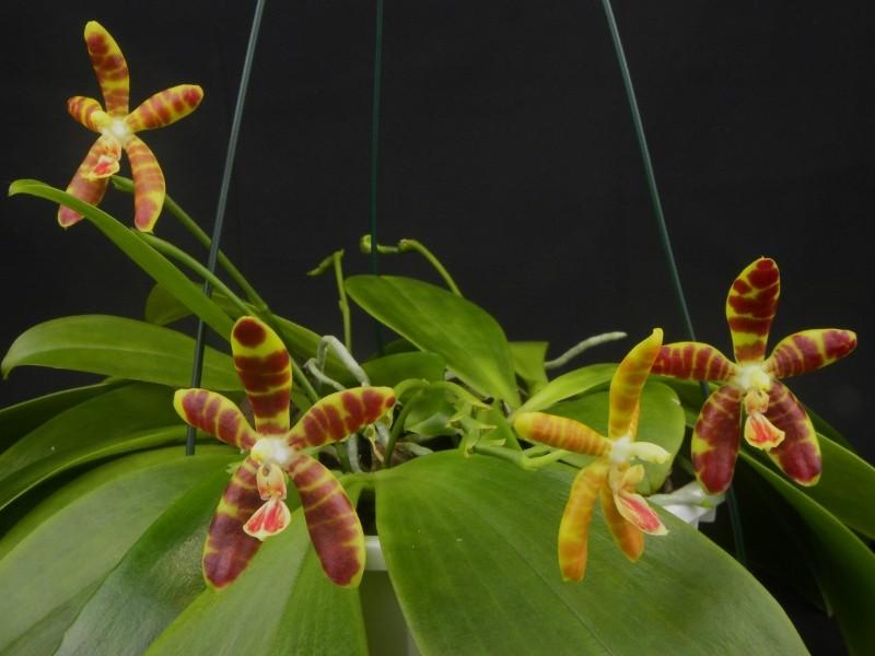 Phalaenopsis kunstleri x venosa (Koodoo) Nr_58510