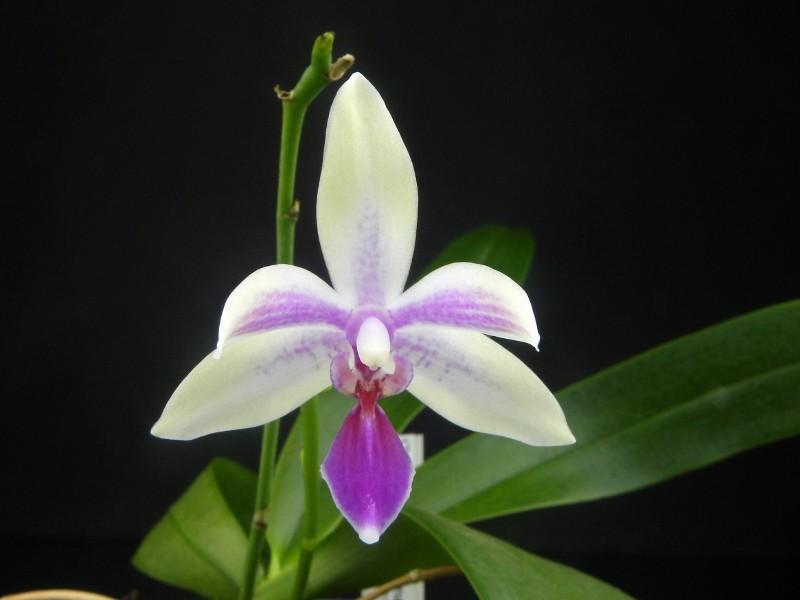 Phalaenopsis lueddemanniana x equestris (Mahinhin) Nr_59910