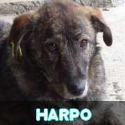 Grande campagne d'identification et vaccination à Pascani : ils ont besoin de vous ! - Page 6 Harpo10