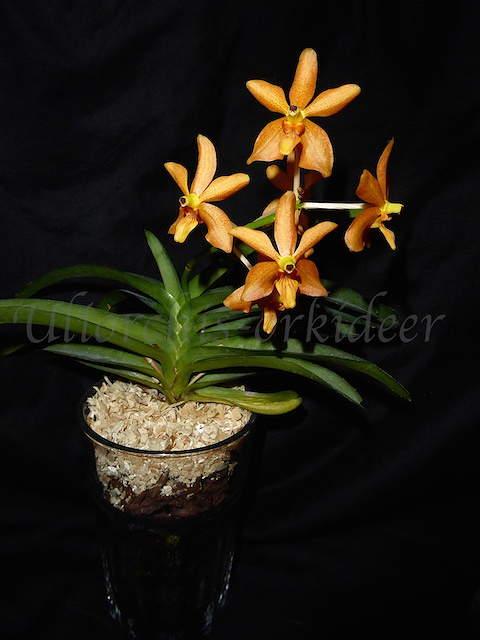 Orchideen in Glasvasen 4 (SGK) - Seite 25 P1030910