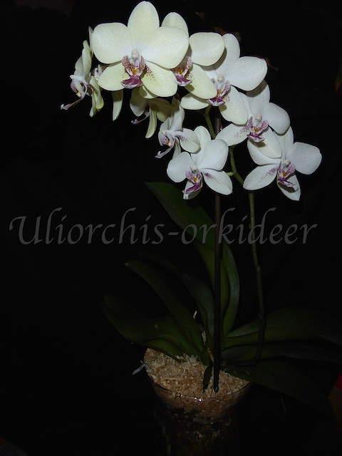 Orchideen in Glasvasen 4 (SGK) - Seite 25 P1030911