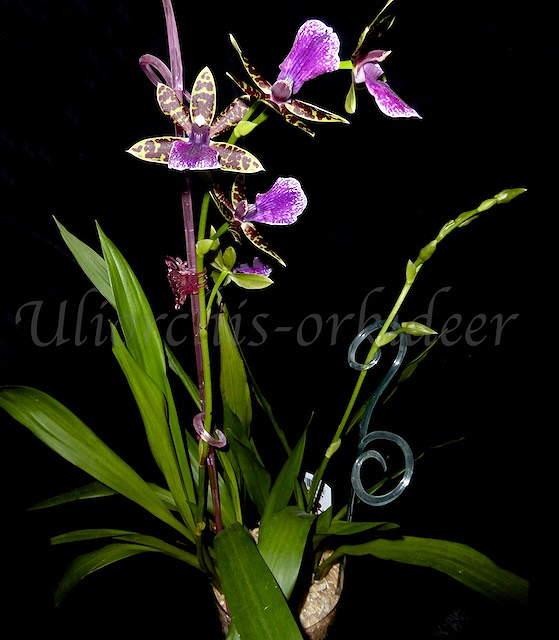 Orchideen in Glasvasen 4 (SGK) - Seite 27 P1030915