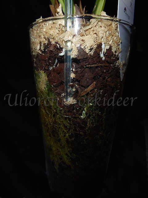 Orchideen in Glasvasen 4 (SGK) - Seite 27 P1030917