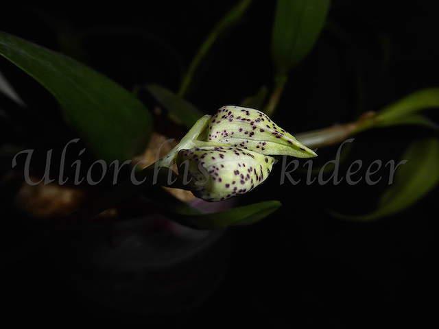 Dendrobium atroviolaceum x Hsinying Mareezuki P1040012
