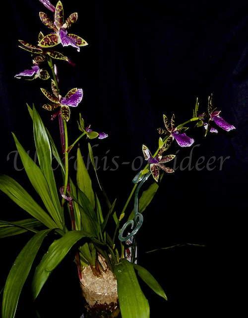 Orchideen in Glasvasen 5 (SGK) - Seite 3 P1040015