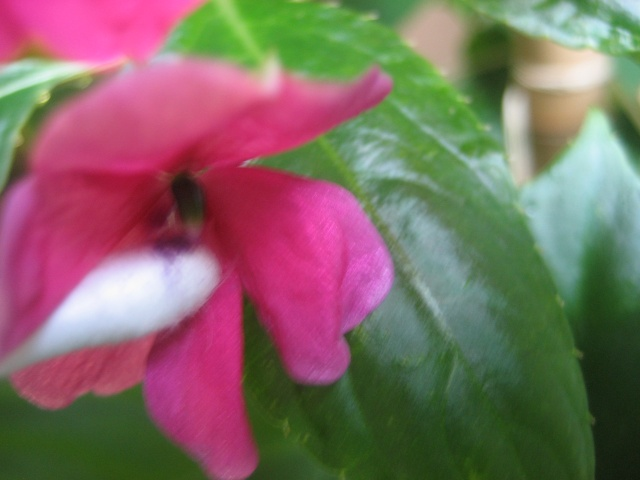 Couleurs fleurs impatiens goutte de sang hybrides - Page 2 Img_0410