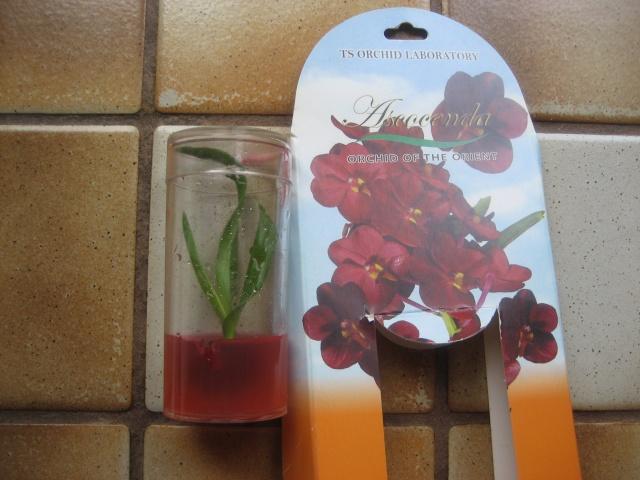 Orchidées en flacons stétiles Img_9515