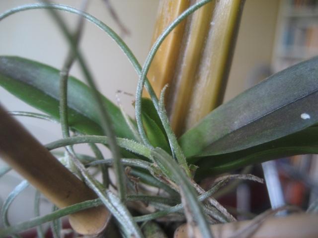 Orchidées en flacons stétiles Img_9520