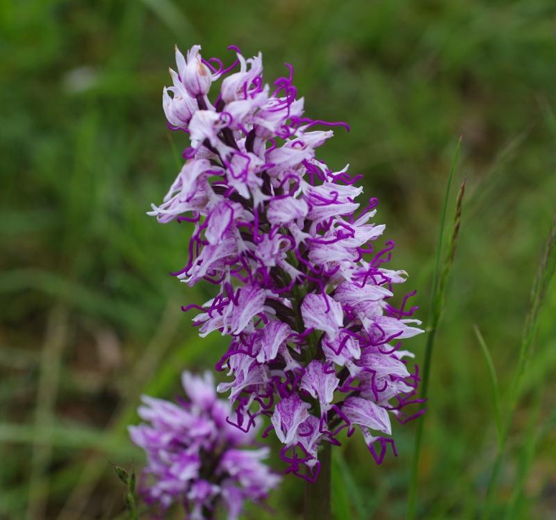 orchidées du vallon 110