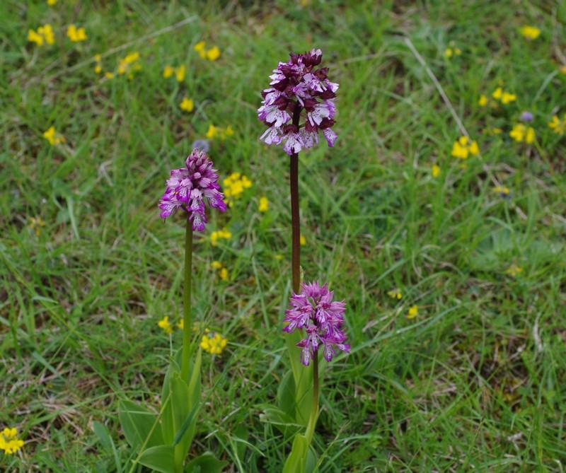 orchidées du vallon 111