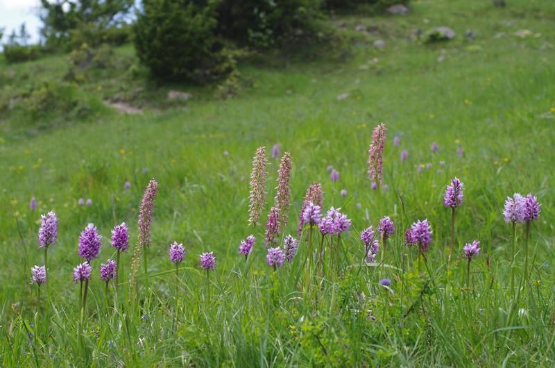 orchidées du vallon 611