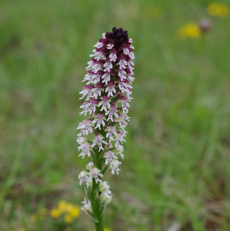 orchidées du vallon 810