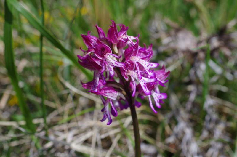 orchidées du vallon 8_111