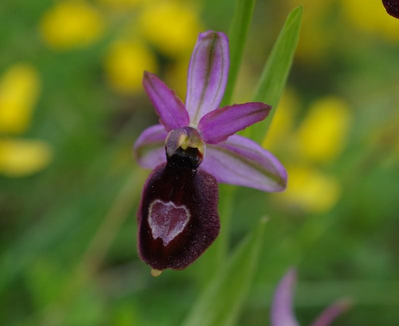 orchidées du vallon Imgp1810
