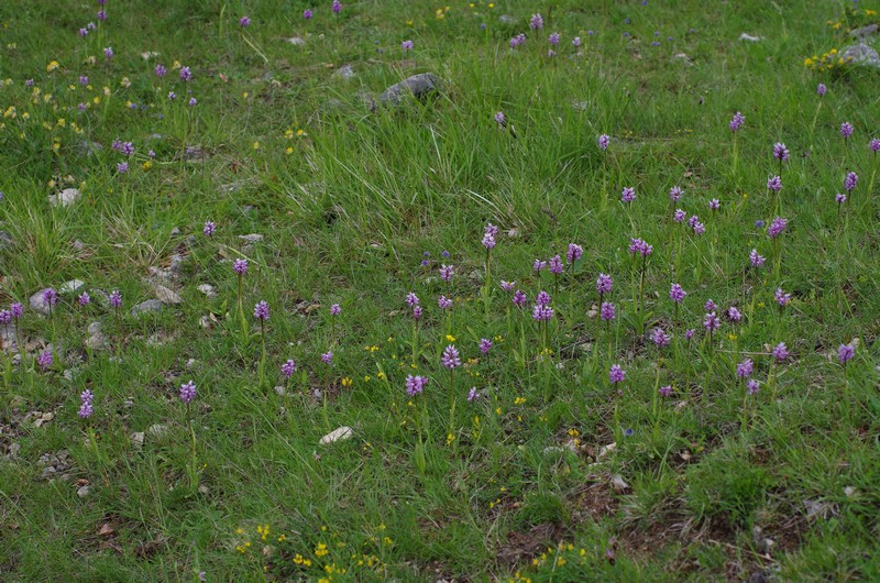 orchidées du vallon Imgp1813