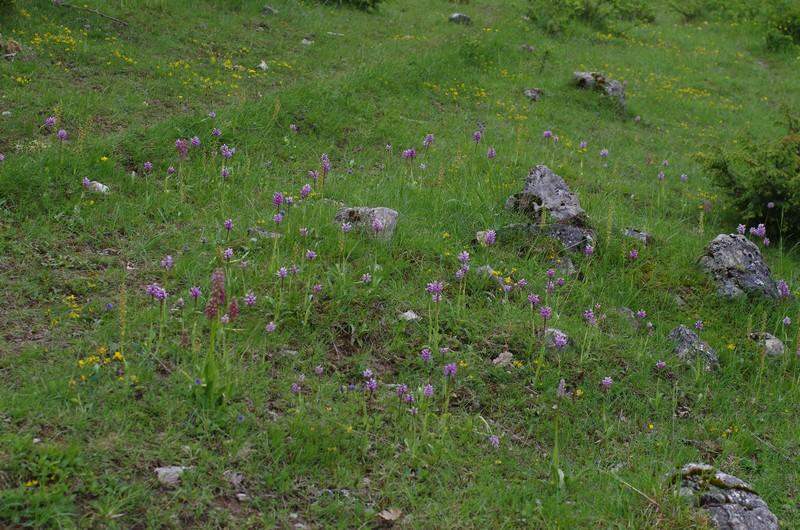 orchidées du vallon Imgp1918