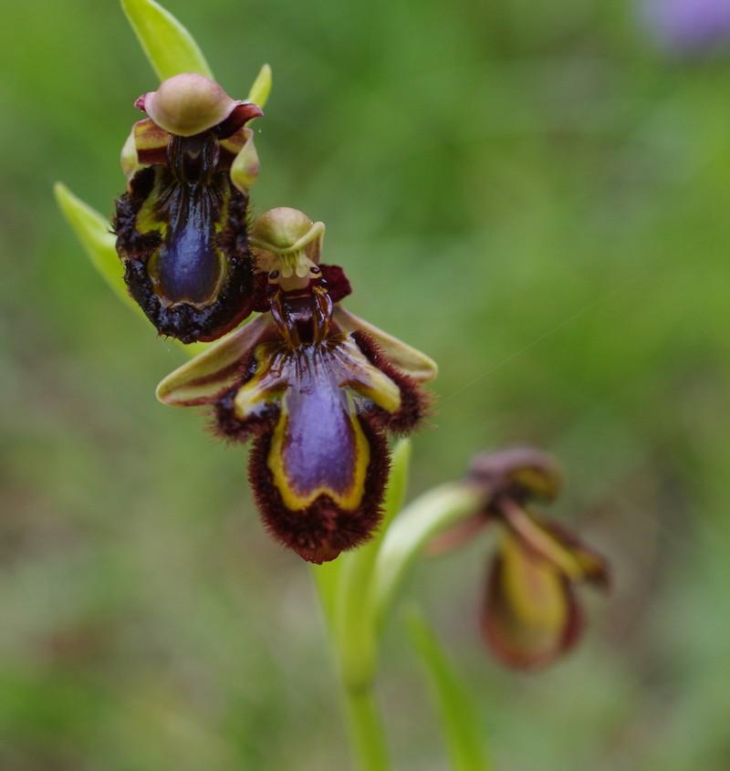 orchidées du vallon Imgp1922