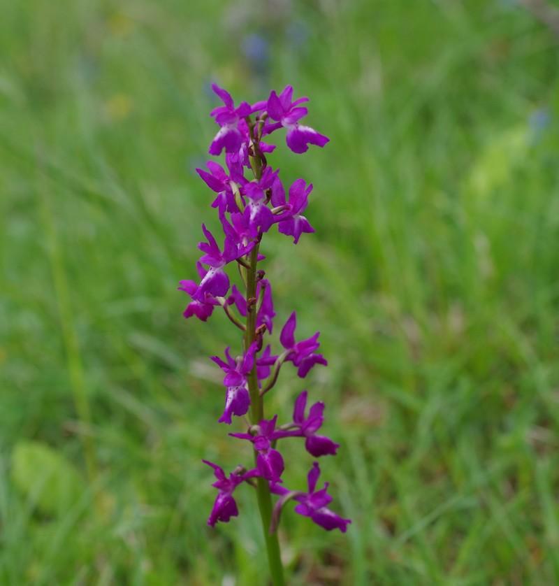 orchidées du vallon Imgp1924