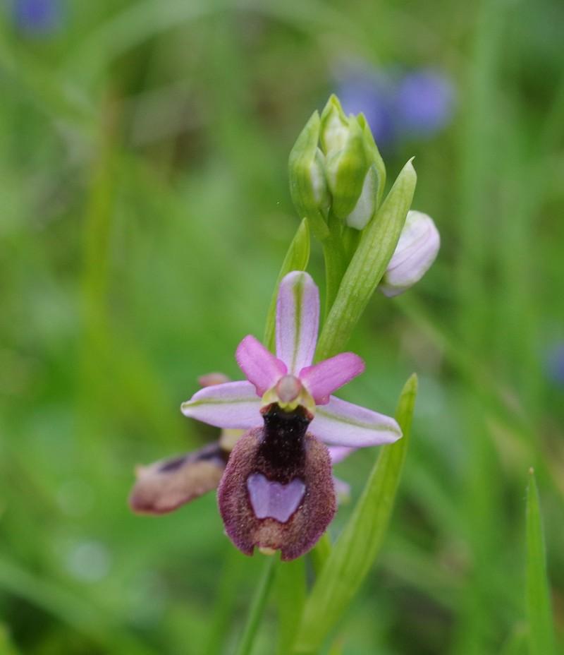orchidées du vallon Imgp2011