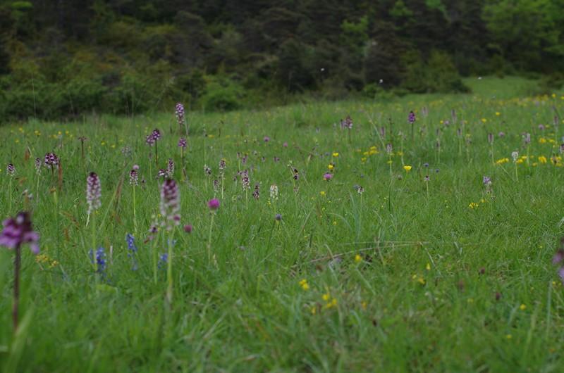 orchidées du vallon Imgp2014