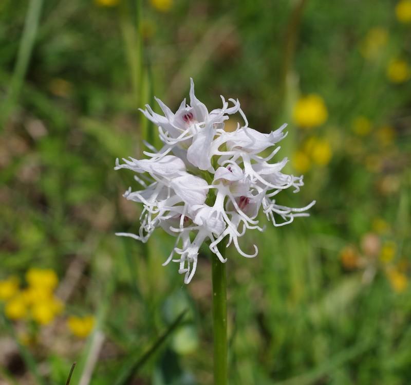 orchidées du vallon Imgp2211