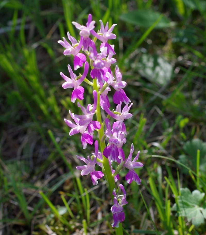 orchidées du vallon Imgp2218