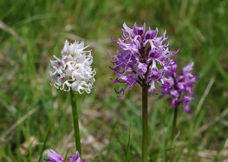 orchidées du vallon Imgp2310