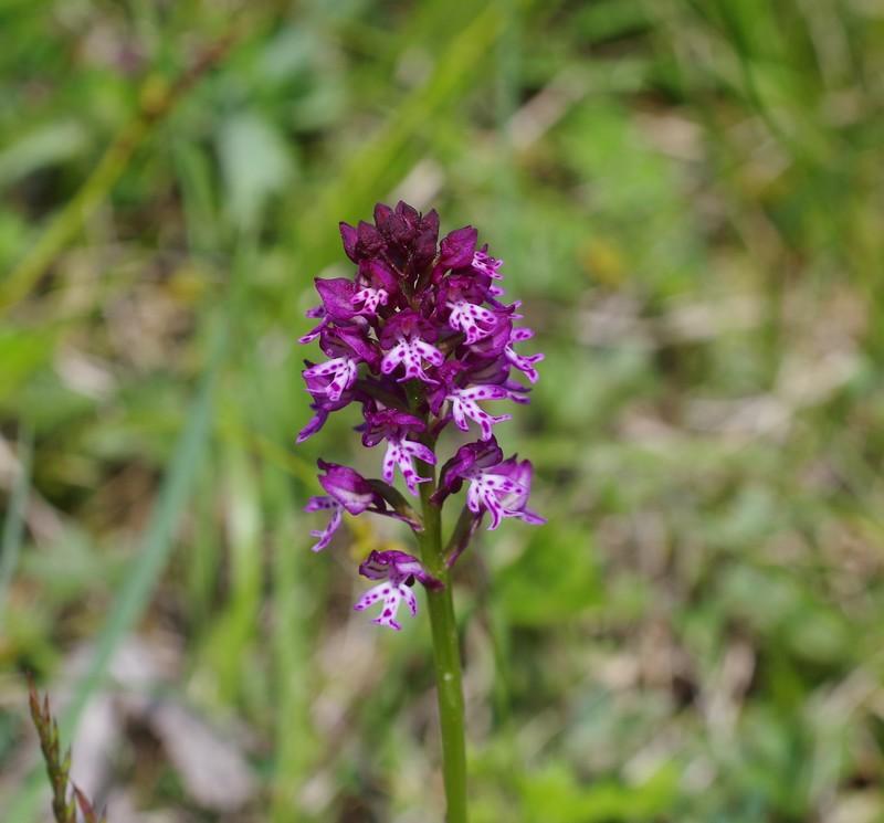 orchidées du vallon Imgp2313